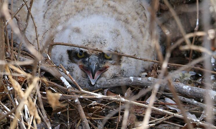 owlet-in-brush.jpg