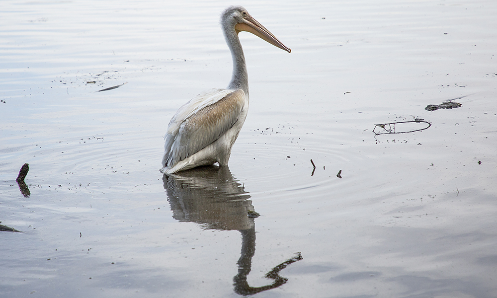 pelican-reflection