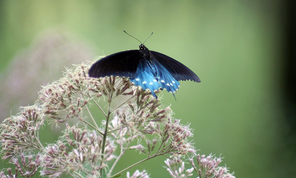 pipevine-swallowtail