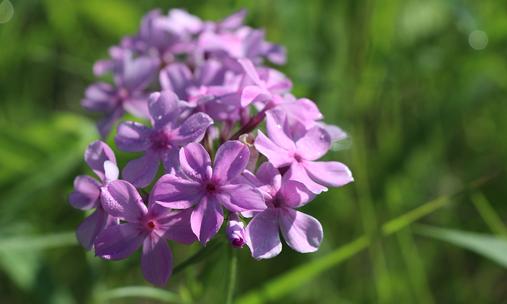 prairie-phlox-west-chicago-prairie