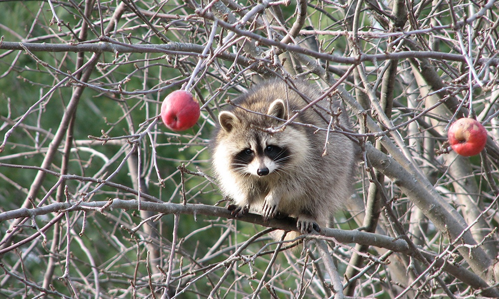 raccoon-limb-apple-tree-KeronL-flickr.jpg