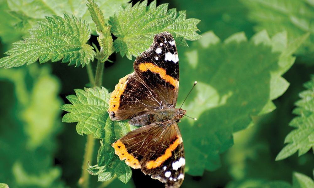 red-admiral-on-nettle-c-Andy-Rogers-1