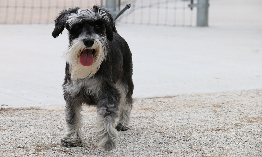 schnauzer-off-leash-dog-area