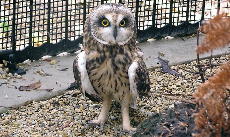 short-eared-owl-exhibit.jpg
