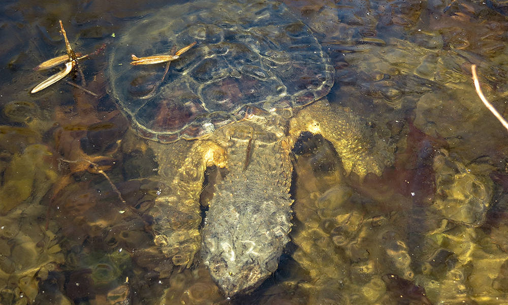 snapping turtle-c-Cliff-Fairweather-Long-Branch-Nature-Center