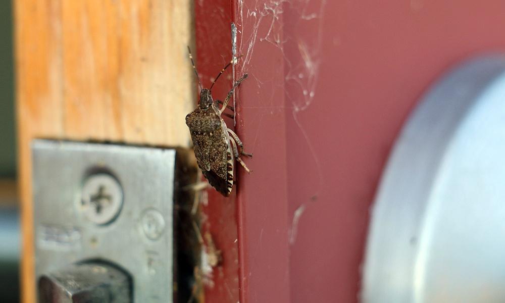 stink-bug-door-frame
