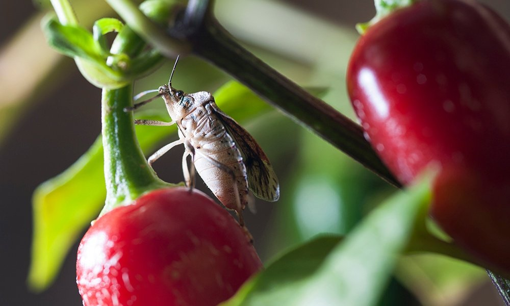 stink-bug-on-red-pepper-plant-OregonStateUniversity