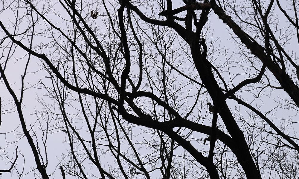wood-ducks-in-tree-silhouette