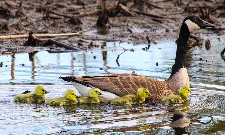 geese_family_Alex_DeBear