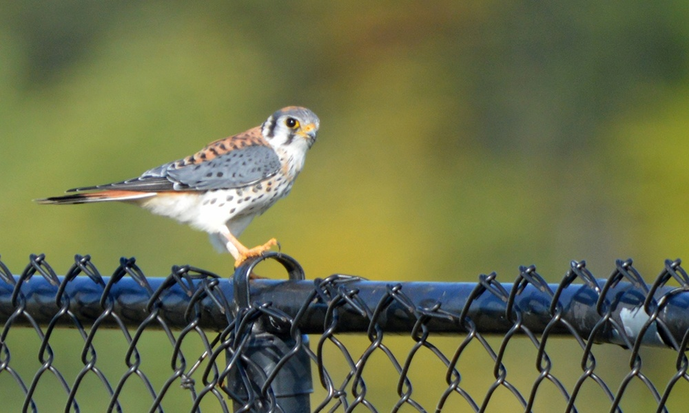 American-kestrel-katherine-howard