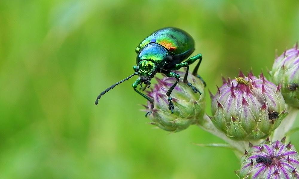 Beetle-Dogbane