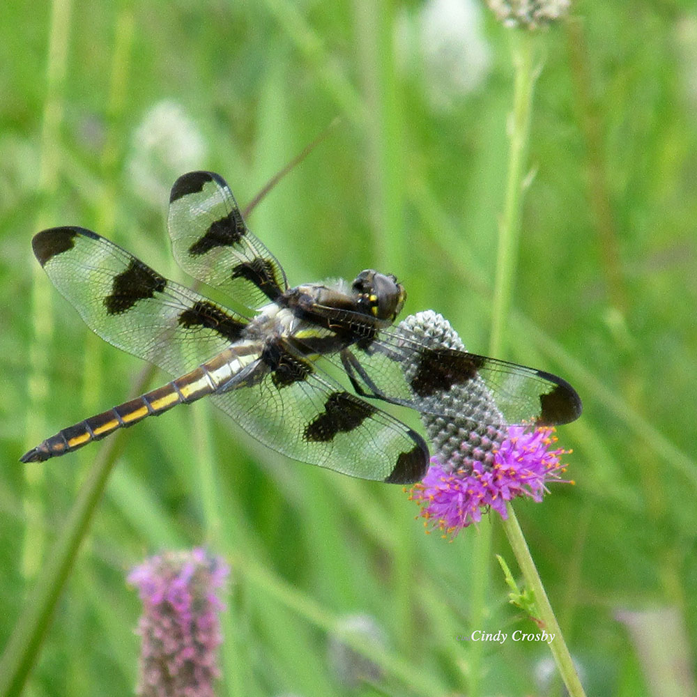 12-spotted-skimmer-credit-Cindy-Crosby