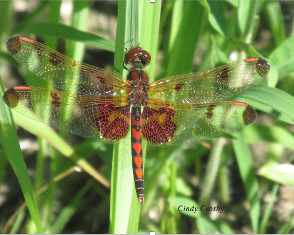Calico-Pennant-by-Cindy-Crosby-from-SPWM