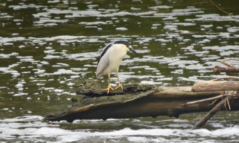 Fullersburg-black-crowned-night-heron