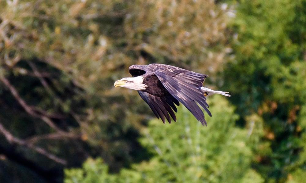 Bald-eagle-East-Branch-Henry-Kim