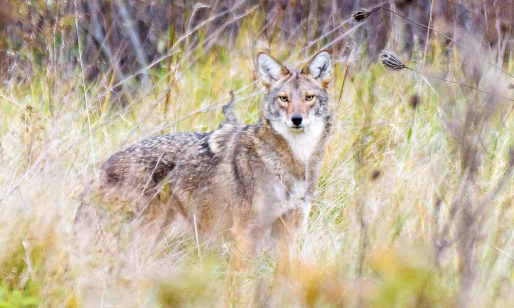 Coyote-Prats- Wayne-Woods-Henry-Kim