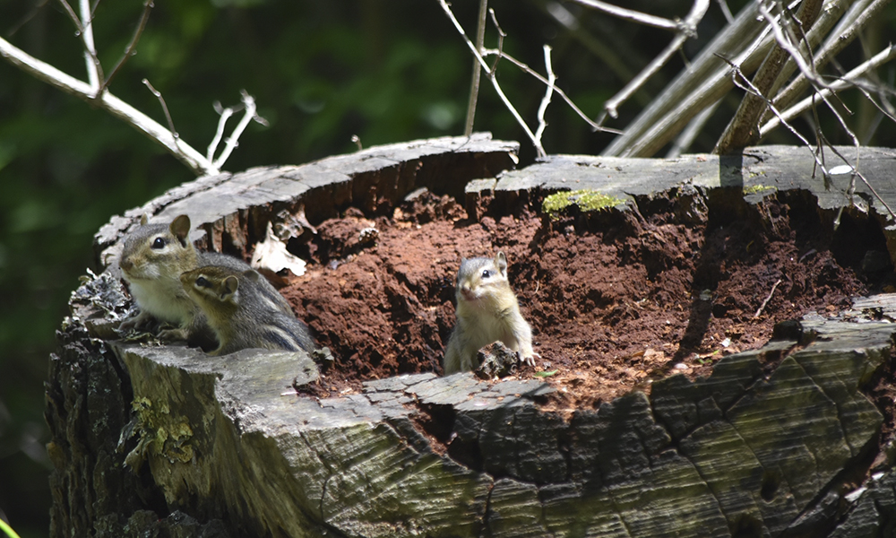 Herrick-Lake-chipmunks