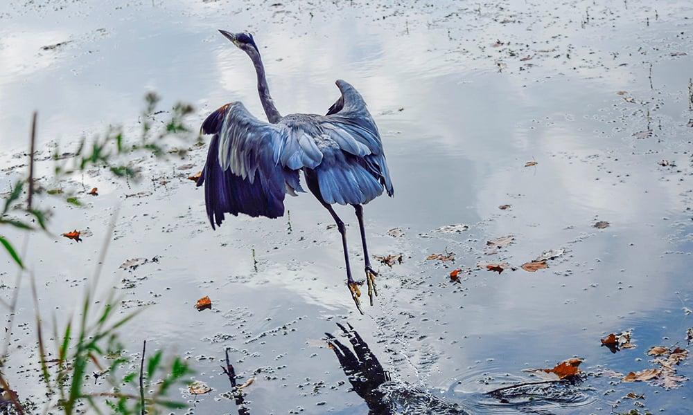 Herrick-Lake-heron