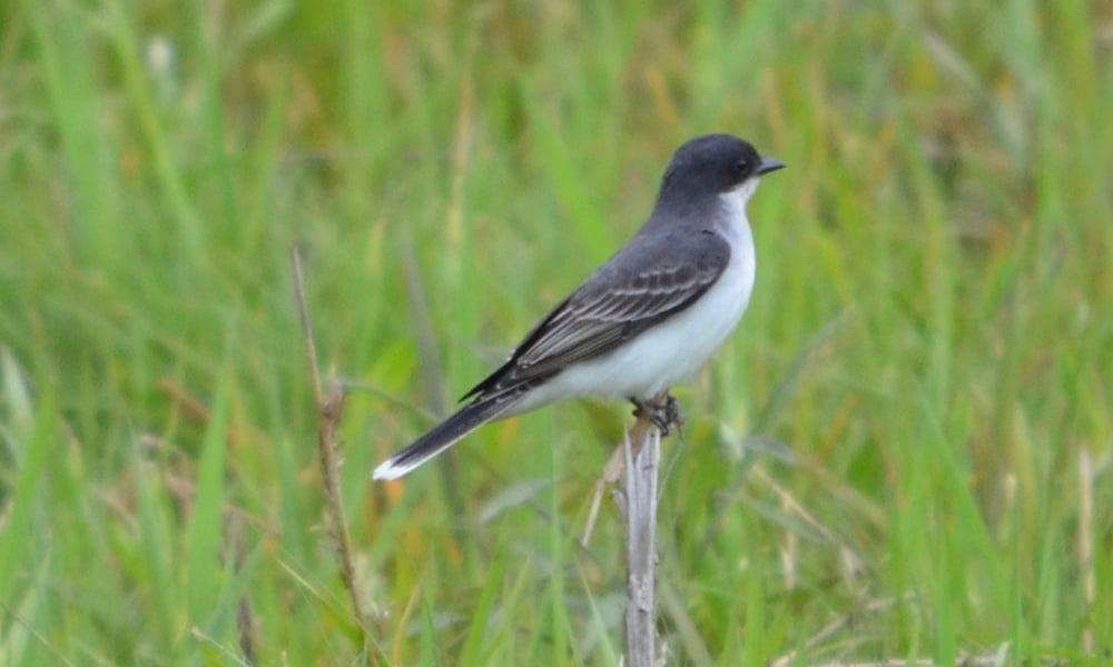 Eastern-Kingbird-Hidden-Lake