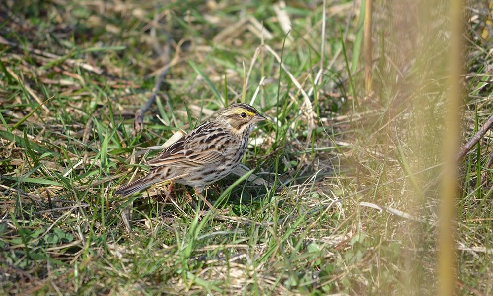 Savannah-Sparrow-West-Branch-FP