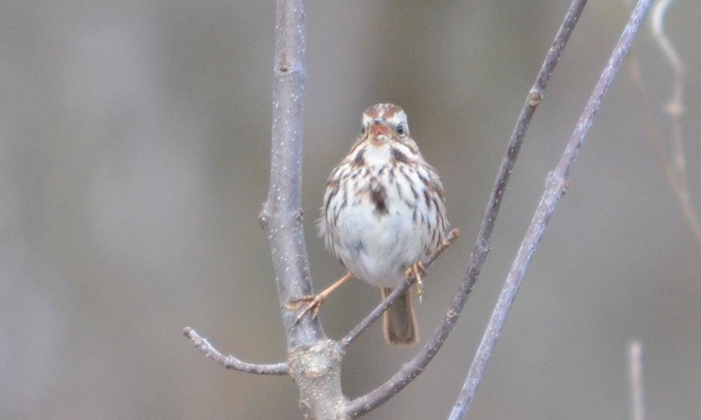 Song-sparrow-SJF