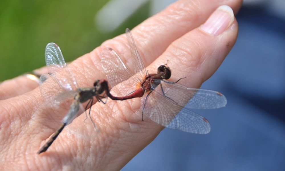Lincoln-Marsh-dragonflies-fran-glowinski