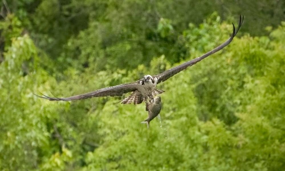 Osprey-Catch