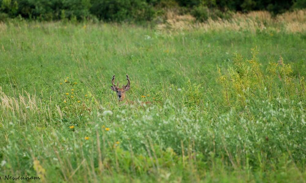 Summer-Deer