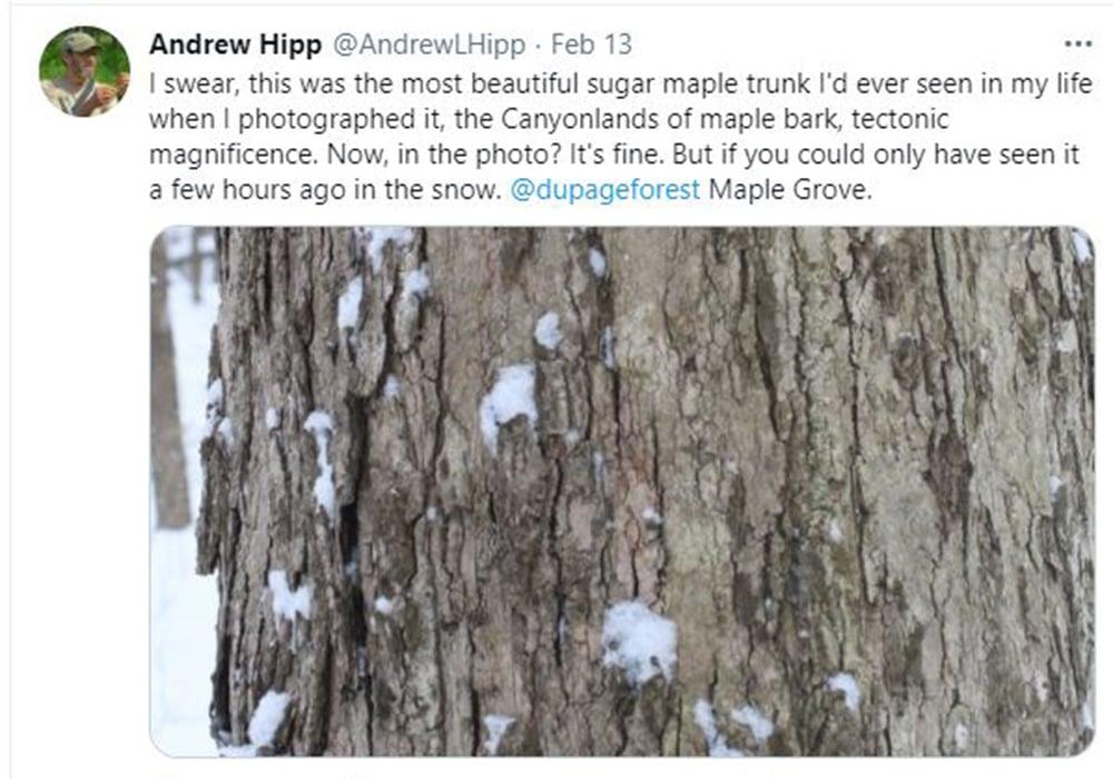 andrew-hipp-tweet-maple-tree