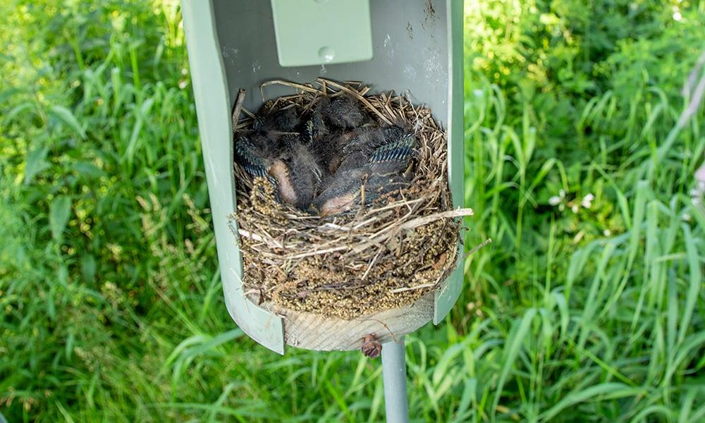 bluebird-babies
