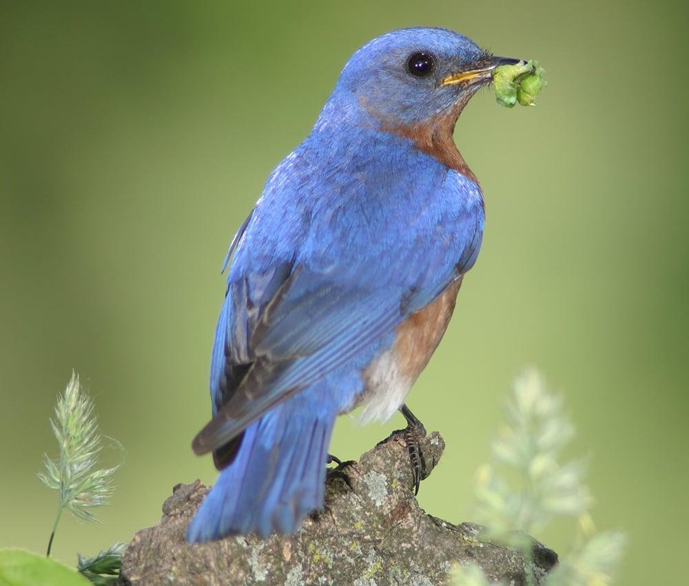 bluebird-ron-olsen-2