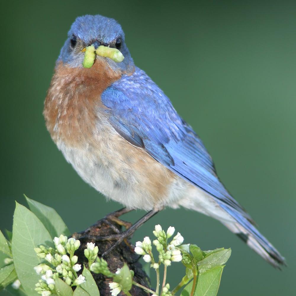 bluebird-worm-ron-olsen