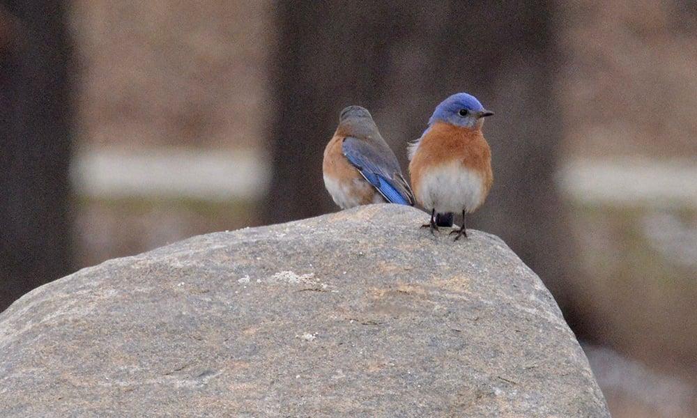 bluebirds-bob-bates