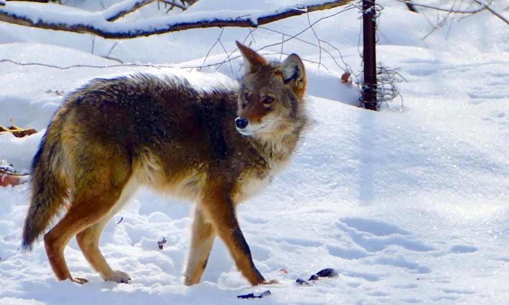 coyote-winter-Chuck-Lincoln