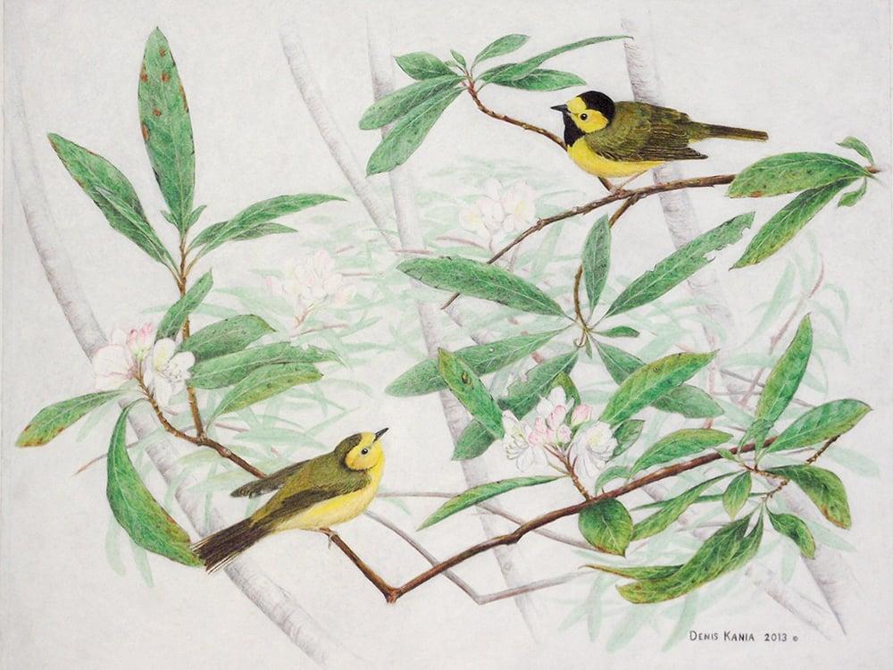 densi-kania-bird-drawing-2