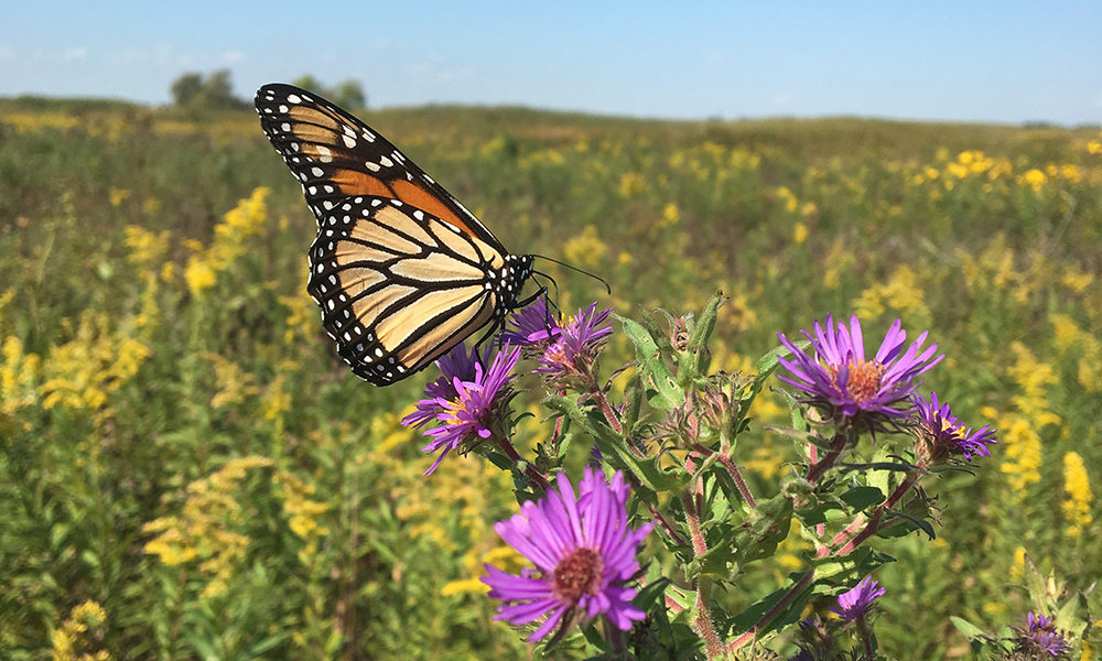 monarch-on-aster