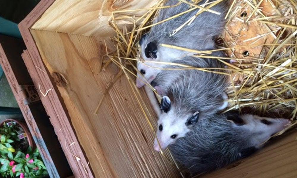 opossums-in-box-Nina-Hulet
