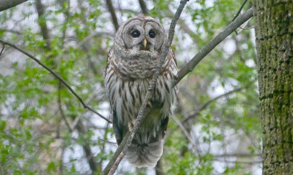 owl-Chuck-Lincoln