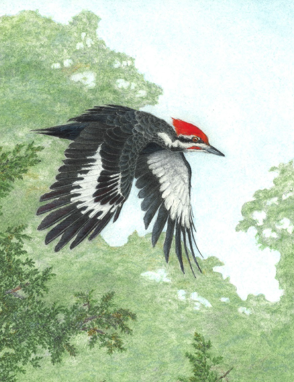pileated-denis-kania-drawing