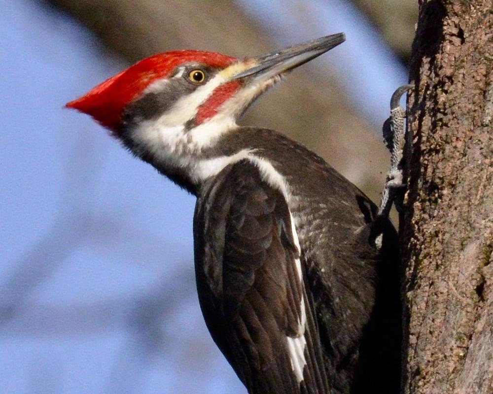 pileated-woodpecker-bob-bates