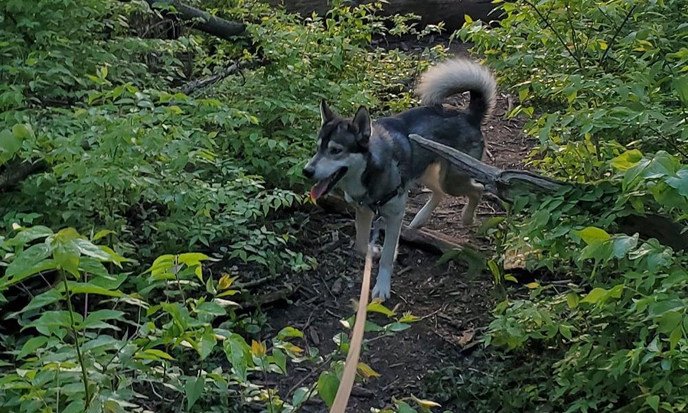 pronger-pup