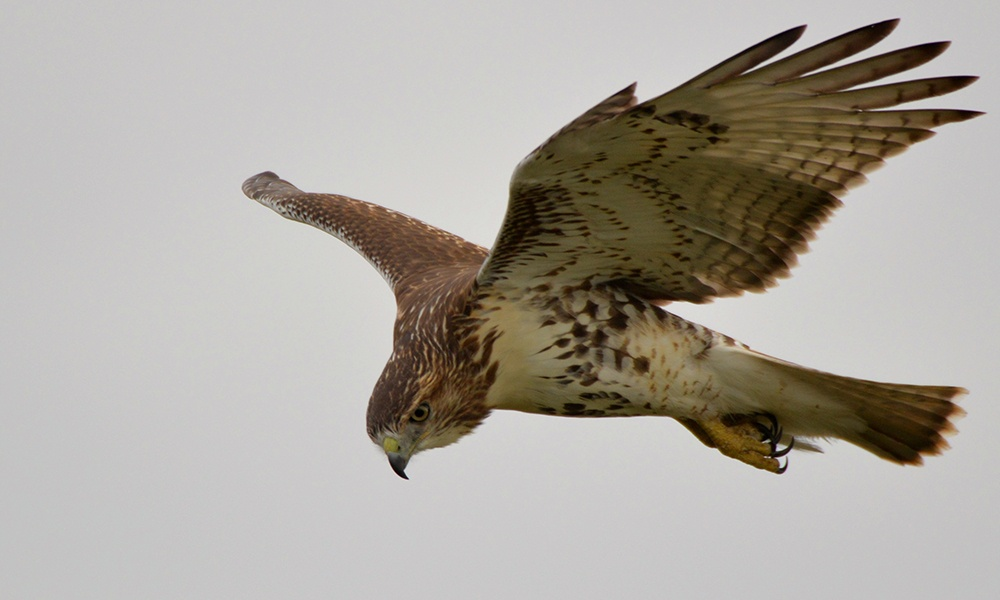 red-tailed-hawk-katherine-howard