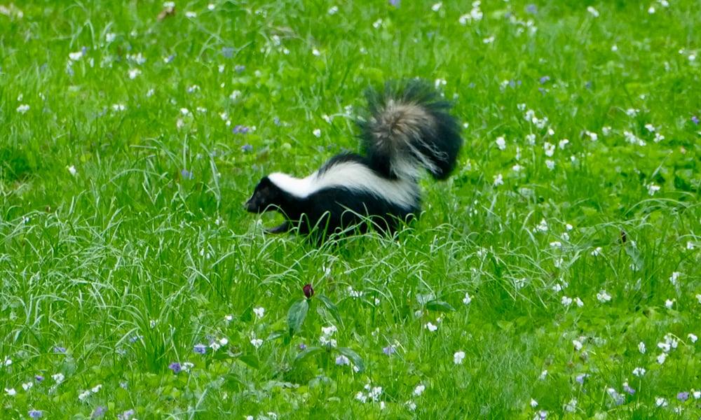 skunk-Chuck-Lincoln