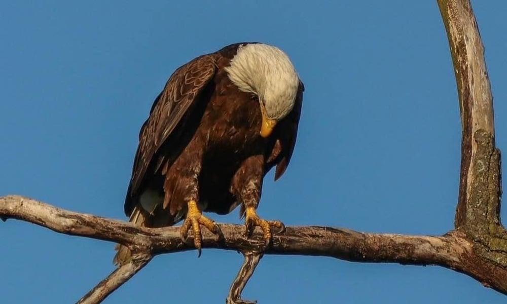 sue-nix-eagle