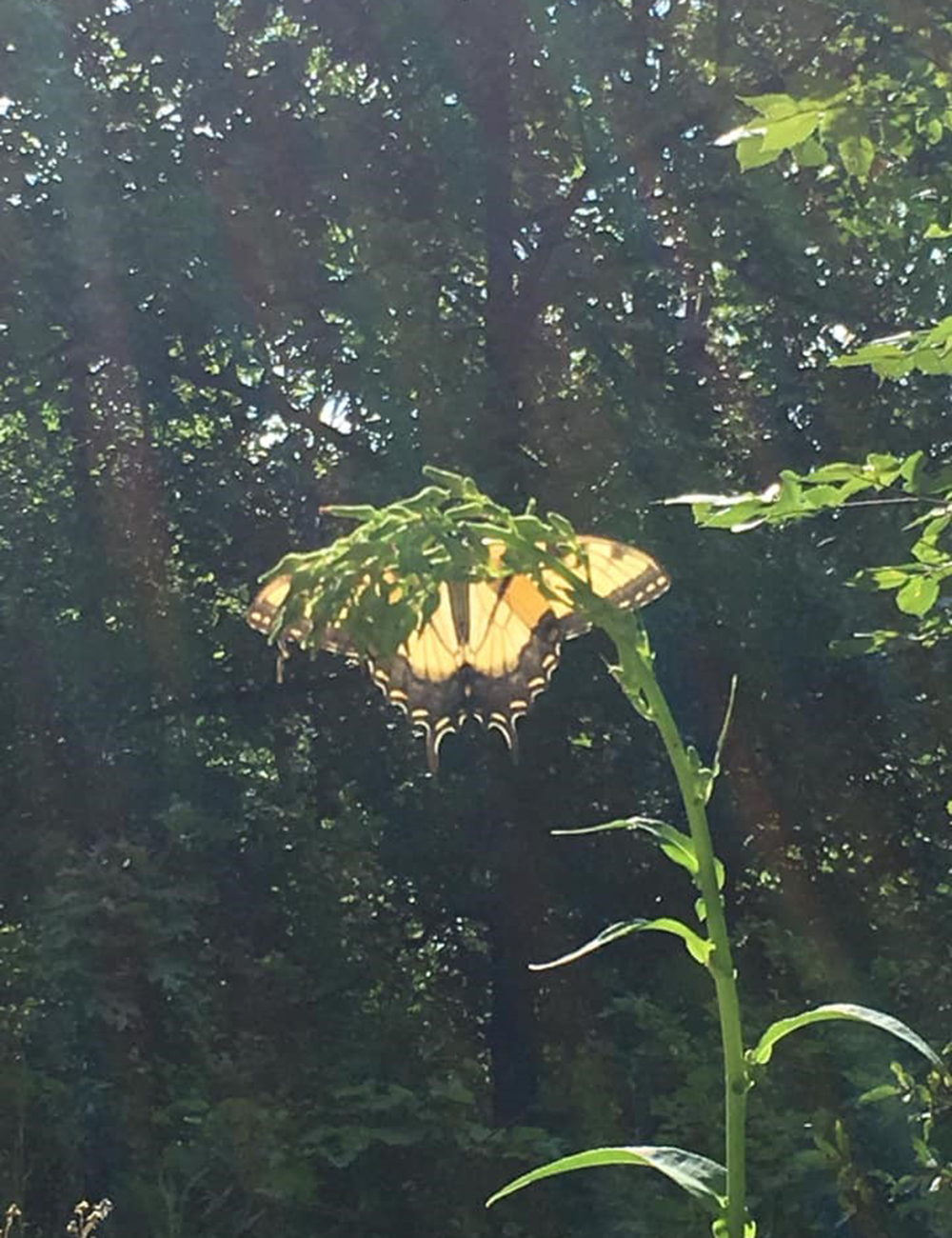 swallowtail-and-sunlight