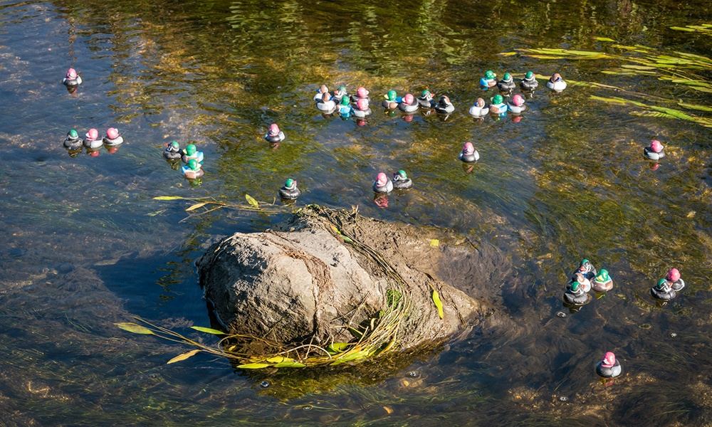 duck-cluster-©LarryLarson