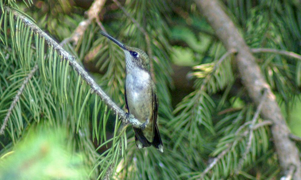 hummingbird-1000x600