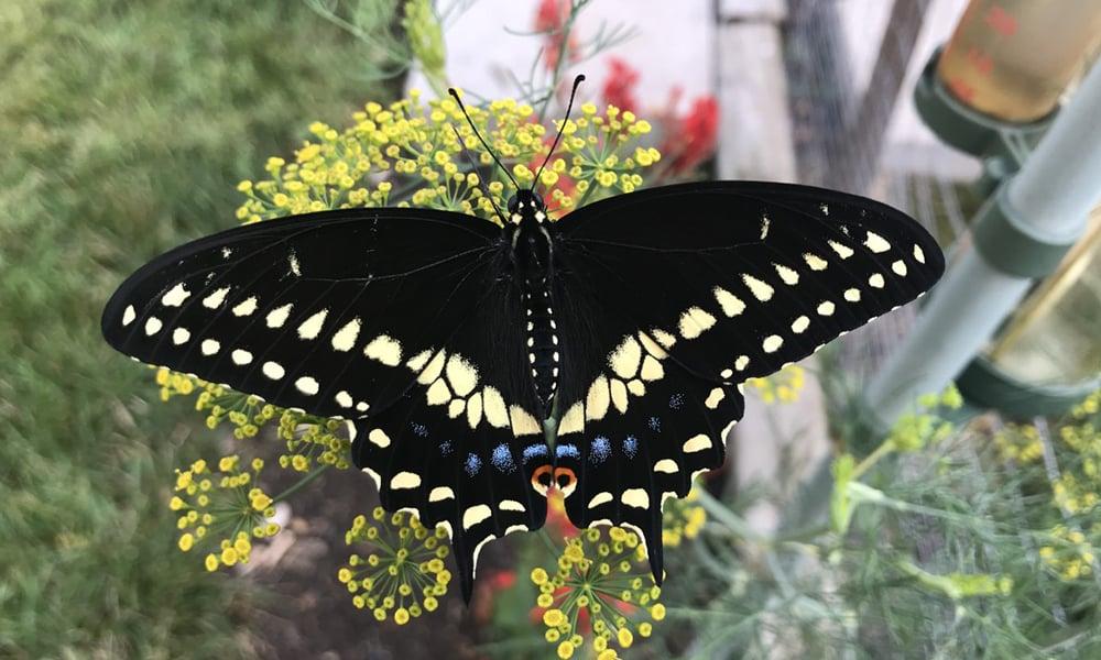 black-swallowtail-dill-dean