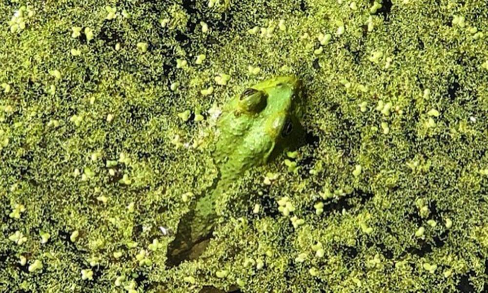 frog-in-algae