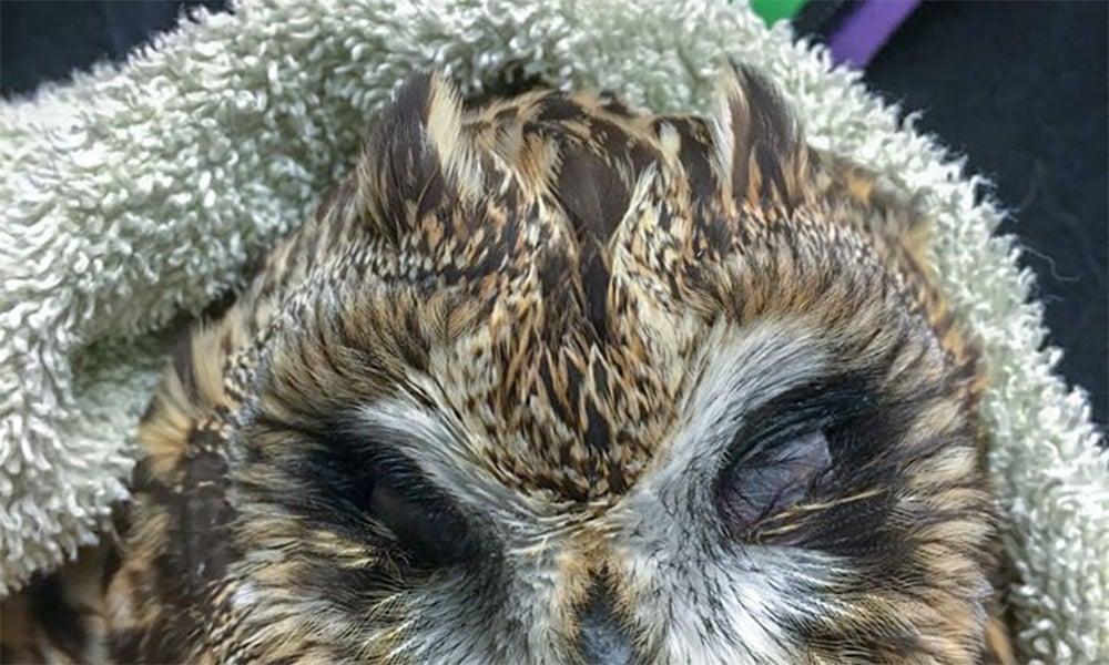 short-eared-owl-ears
